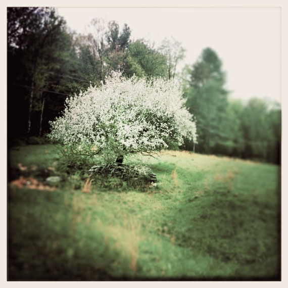 Blossoming Apple Tree: shot with Hipstamatic app with a few adjustments in Photoshop. ©Margaret Helthaler