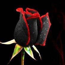 Semillas 50 semillas Rare increíblemente hermoso negro flor de Rose con borde rojo(China (Mainland))