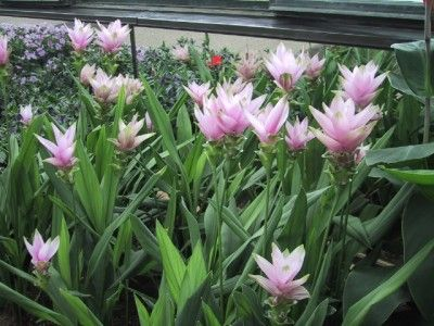Siam Tulip Care: Learn How To Grow Siam Tulips - Cultivating Siam tulip in USDA zones 9-11 adds large, showy tropical flowers and delicate bracts to the outdoor flower bed. Siam tulip care is modest. This long-lived perennial has a moderate salt tolerance and is a good choice for a seaside garden.