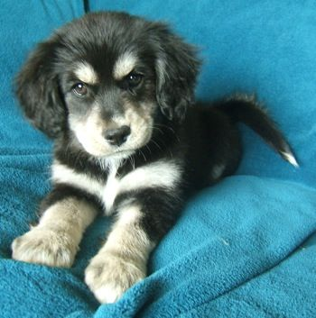 Siberian Husky/Cocker Spaniel Puppy! Adorable!