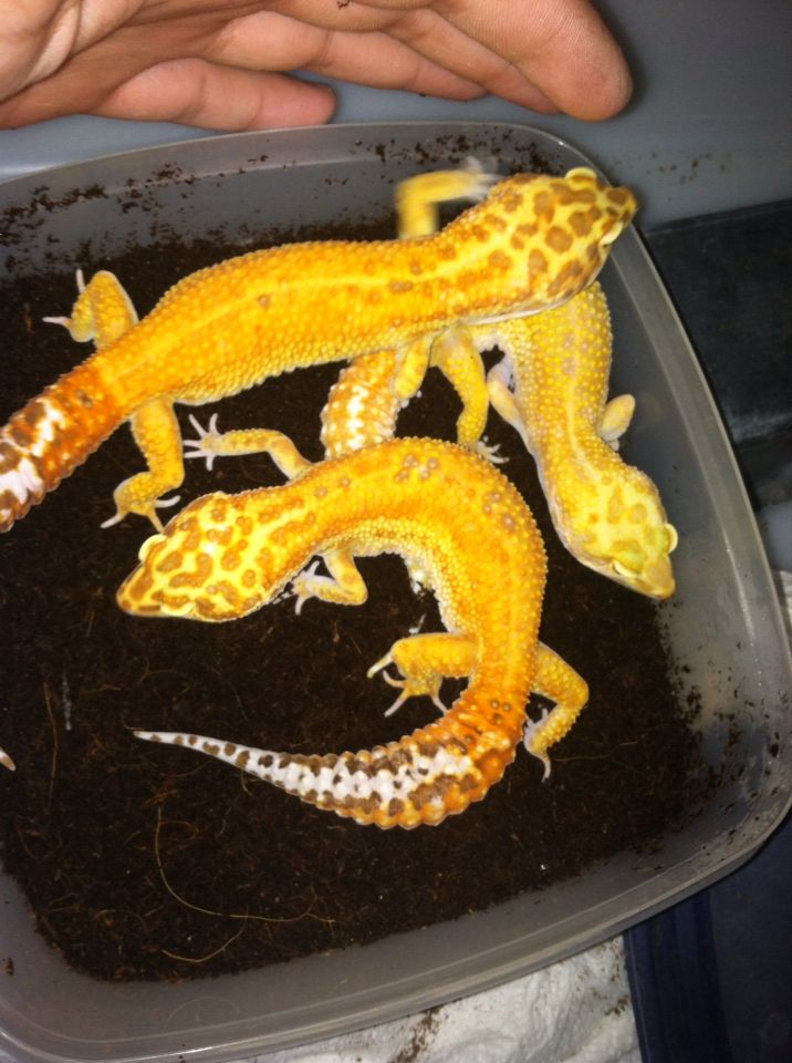 One of my favorite breeding groups. These are my selectively bred line of RT's, extreme emerines. I have the best extreme emerines in the world and I stand by that claim.