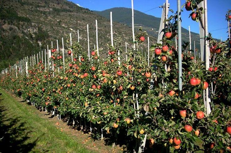 – Réaliser un palissage pour des fruitiers   Ma passion du verger