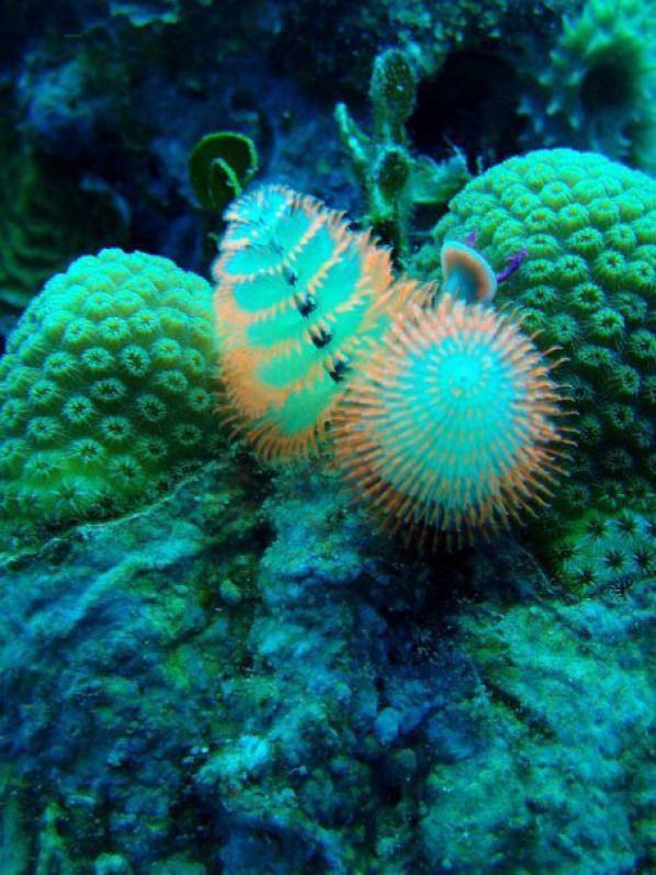 Spirobranchus Giganteus Commonly Known As Christmas Tree Worms Are Small Tube Building Polychaete Annelid Annelid Annelid Underwater Creatures Colorful Fish