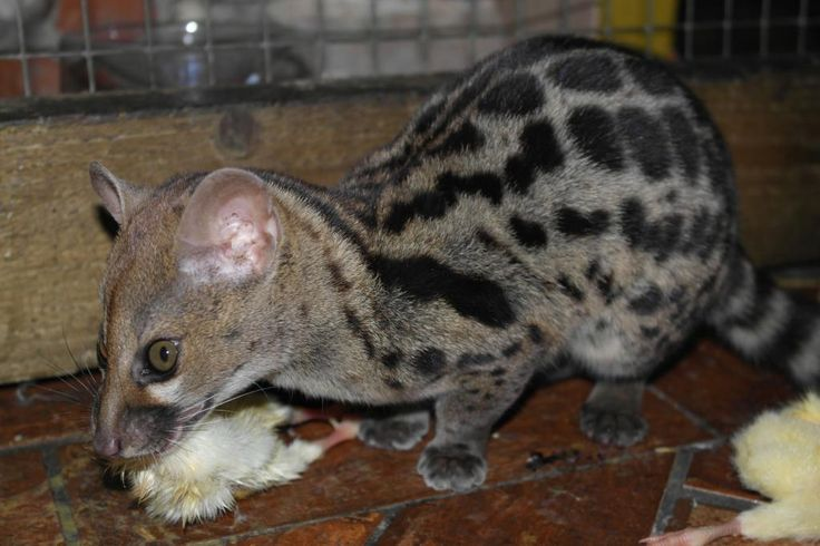 """Genet """"Cat"""": Convergent Evolution: Completely different species finding similar ways to adapt, winding up with similar features:) Wikipedia: """"Genets are Old World mammals order Carnivora, suborder Feliformia, family Viverridae, subfamily Viverrinae. Related to civets, linsangs, fossa, & mongooses. Almost all are contained in genus Genetta, though the Aquatic Genet is sometimes kept to its own genus Osbornictis. Genetta Fossils have been found from the Pliocene."""""""