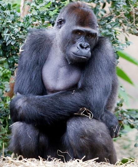 female-gorilla-vagina