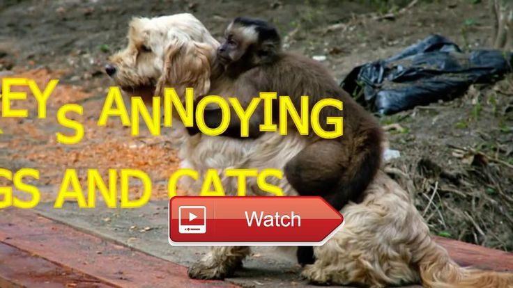 Top Funny Pets Crazy Monkeys annoying cats and dogs Funny Animals  Top Funny Pets Crazy Monkeys annoying cats and dogs Funny Animals Monkeys are really cute and nice but they can also be so annoying Look how they  on Pet Lovers