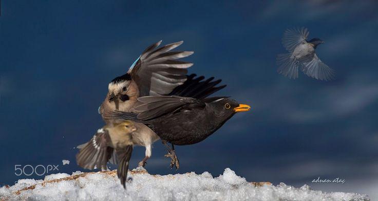 Karatavuk - Common Blackbird - Turdus merula by aatac via http://ift.tt/2kNAU9Q