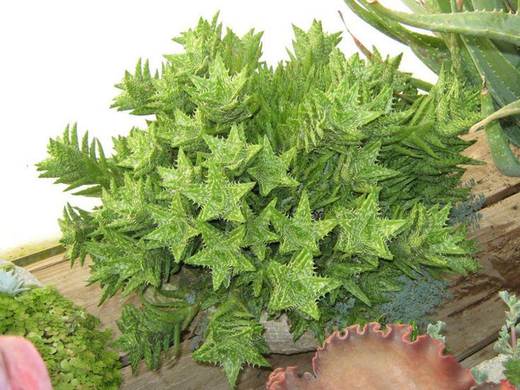 Aloe juvenna – Tiger Tooth Aloe - See more at: http://worldofsucculents.com/aloe-juvenna-tiger-tooth-aloe