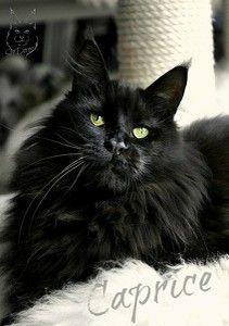 #MaineCoon #Black #Solid #Cats  DE*Peshewafarm Caprice