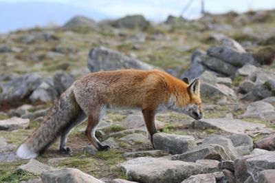 Babiogórski Park Narodowy (BPN) / zwierzęta / lisy / fox / animals / przyroda fauna / Babia Góra  #przyroda #zwierzęta #lis #fox #animals #Babia Góra #Beskidy #BPN #Babiogórski Park Narodowy #góry #szlaki górskie #górskie wędrówki #turystyka górska #Poland #Polska