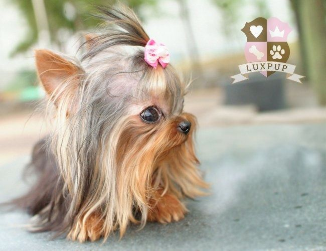 Teacup yorkie puppy! I want one