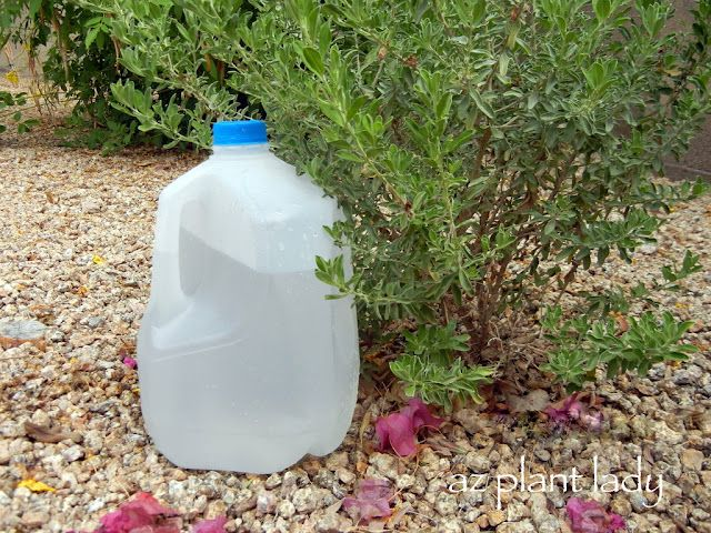 Milk Jug drip irrigation.  A great way to add extra water to your plants.  Make a few holes with a nail on the bottom of the milk jug and fill with water. Also a great way to apply liquid fertilizer.