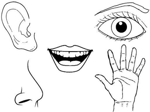 Las 25 mejores ideas sobre organos delos sentidos en for Mural de los 5 sentidos