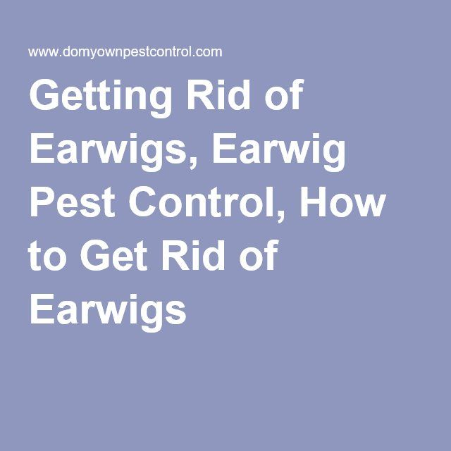 Getting Rid of Earwigs, Earwig Pest Control, How to Get Rid of Earwigs
