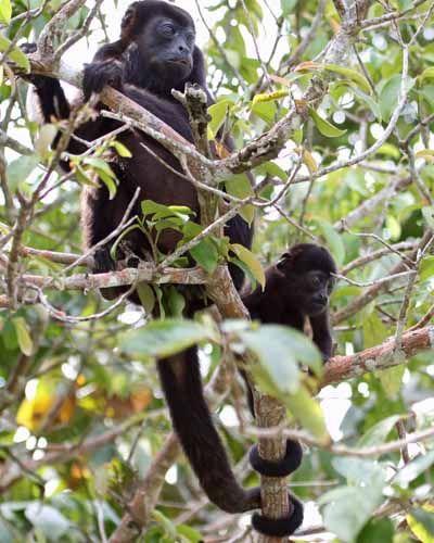 Panama Animals | ... monkey lake gatun panama mantled howler monkey lake gatun panama