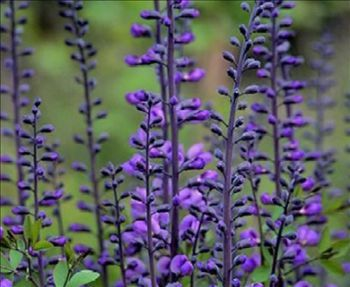 Baptisia australis    'Purple Smoke'    Common Name:  Wild Indigo, False Indigo