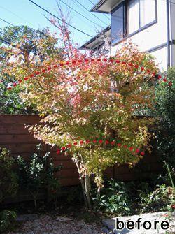 紅葉の剪定時期や時期に合わせた剪定の位置について説明します。