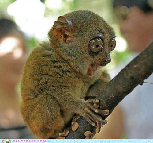 Tarsier is shocked!