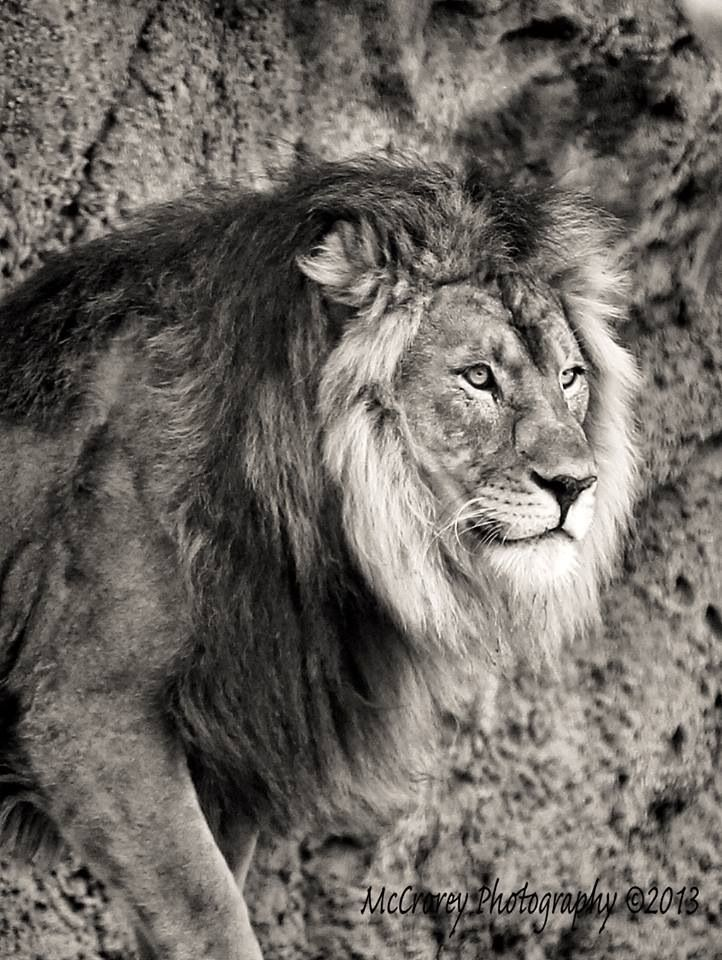 Best Leoni BN Images On Pinterest Big Cats Animal Kingdom - Powerful and intimate black white animal portraits by luke holas
