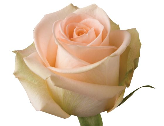 peach coloured roses with green ege - Google Search