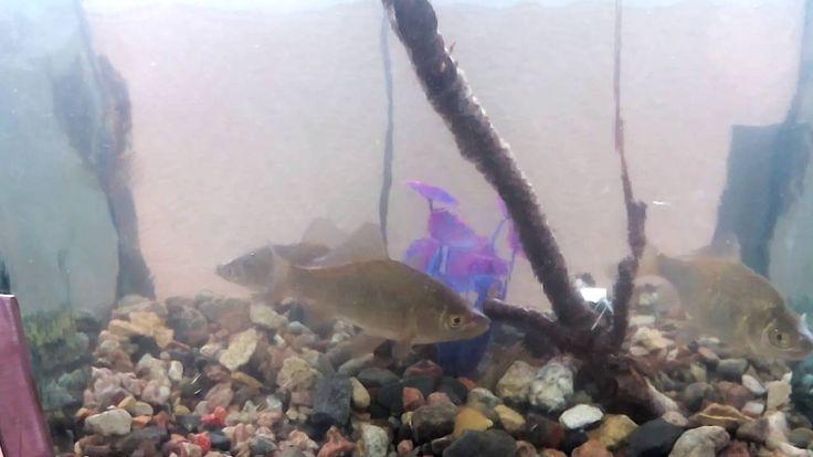 Караси пойманные на рыбалке плавают теперь в аквариуме. Речные рыбы в ак...
