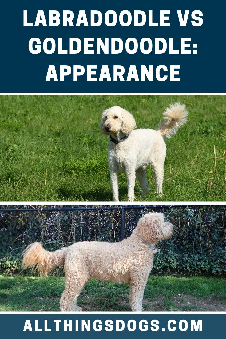 Labradoodle Vs Goldendoodle Appearance | Labradoodle vs ...