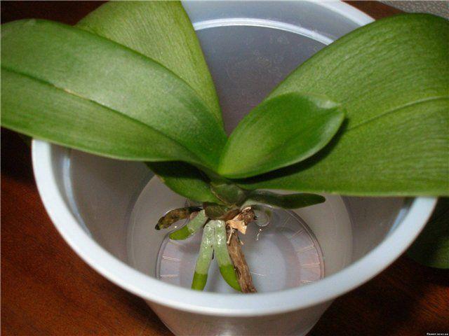 орхидея фото в горшке уход в домашних условиях фото