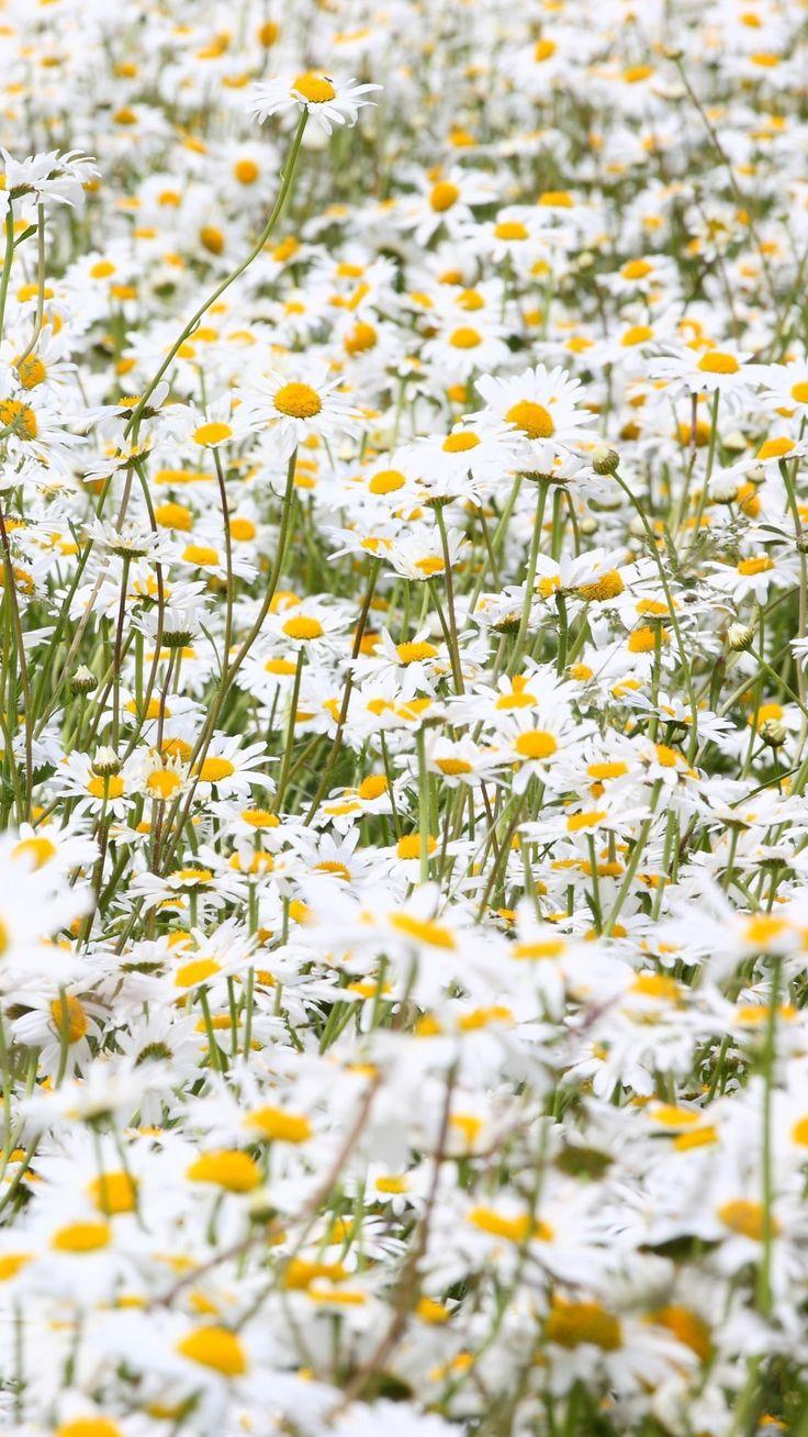 Best 25 Daisy Field Ideas On Pinterest Field Of Daisies