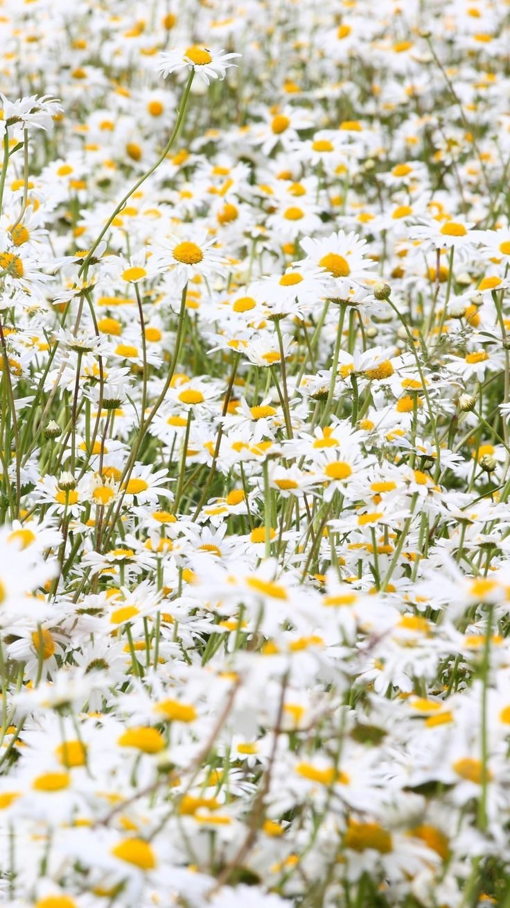 daisies, flowers, field, many, summer | My Cottage ... Field Of Daisies