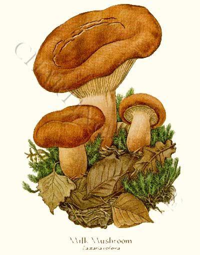 Milk Mushroom art print 8x10 Print
