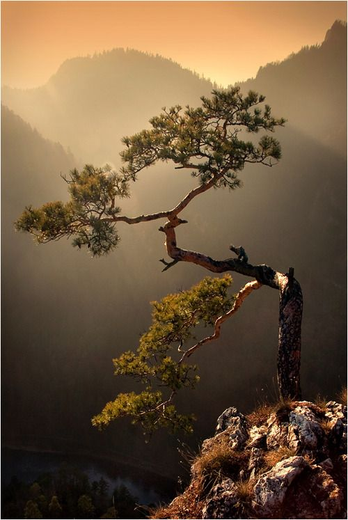 Sokolica Mtn. and it's famous relict pine, symbol of Pieniny Mount,  -  http://furkl.com/sokolica/