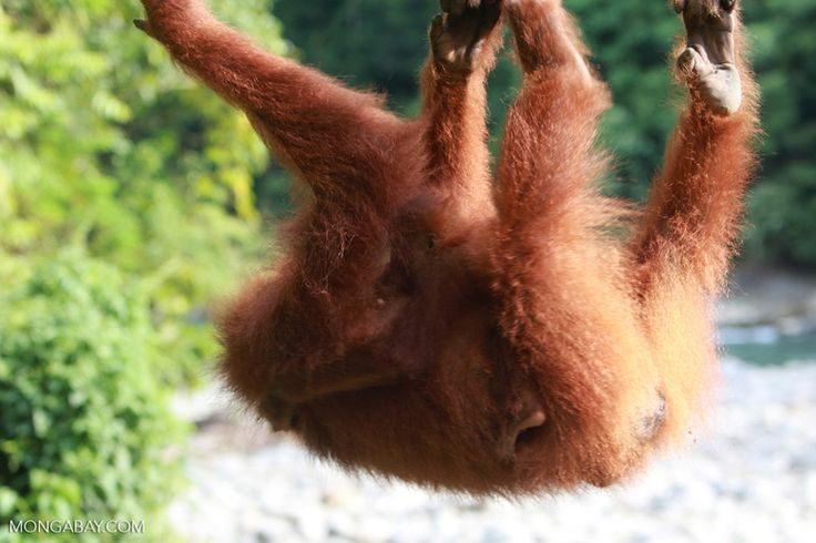 Female orangutan with a baby on its back