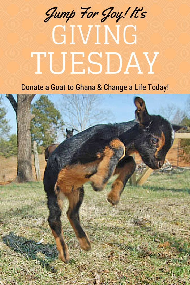 So excited it's ‪#‎GivingTuesday‬! Why not donate a goat today? Thanks to Interac matching donations today, it's like you're giving 2 goats to Ghana! https://www.canadahelps.org/en/charities/canadian-hunger-foundation-chf/givingtuesday-give-a-goat/