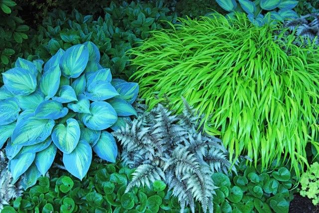 A detail under the magnolia of several long-season perennials: evergreen Asarum europeaum, Hosta 'June,' Hakonechloa 'All Gold,' and the Jap...