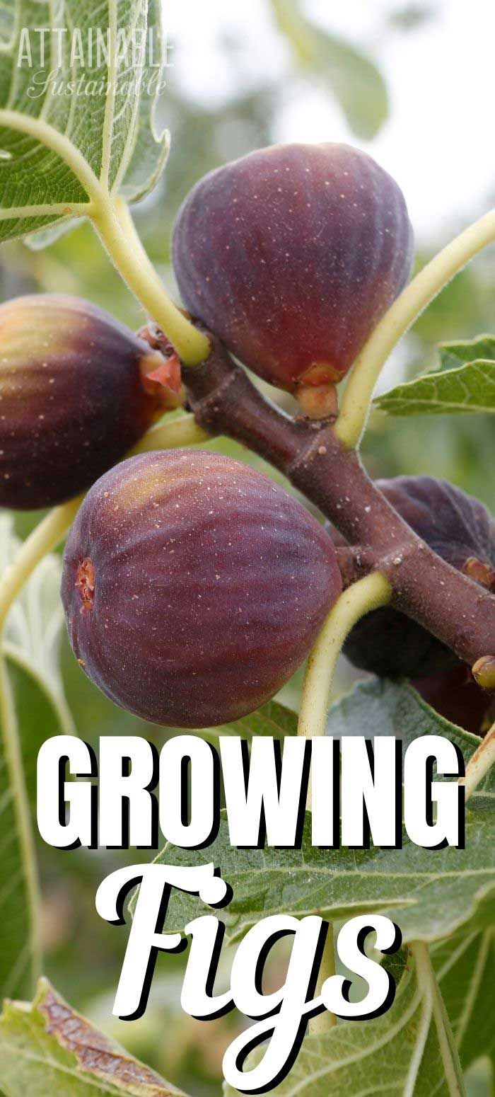 Fig Tree Images