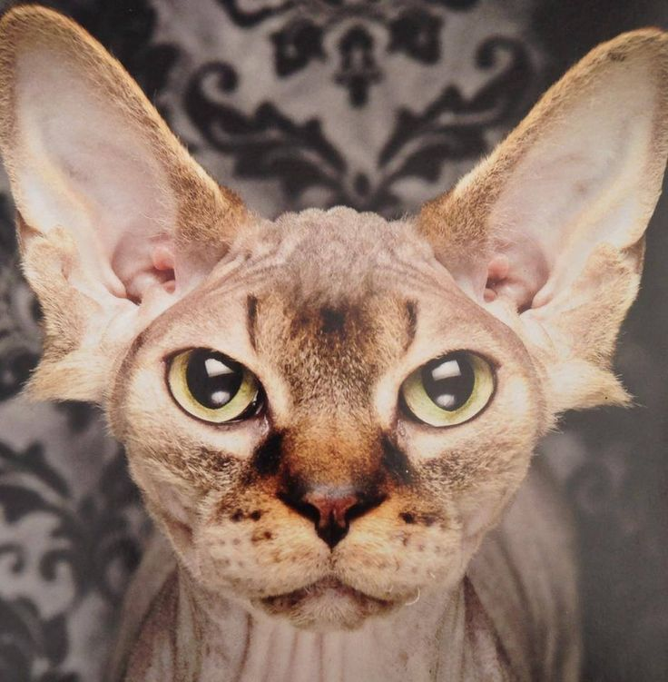 ... Creatures-Cats on Pinterest | Cats, Devon rex kittens and For cats