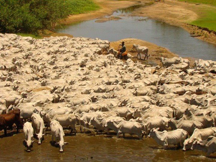 De Scot Consultoria  A boiada desce a Transpantaneira rumo às fazendas que ficam…