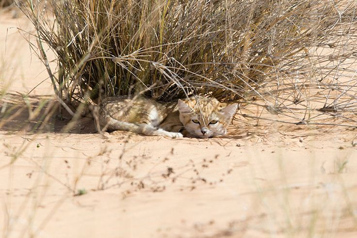 first-wild-sand-cat-kitten