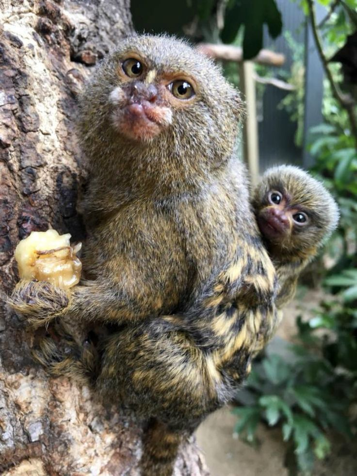 There's a tiny new addition at Hamilton Zoo - a baby Pygmy Marmoset! These primates are the smallest Monkeys in the world. Mom and dad share the job of caring for the new baby. Learn more on ZooBorns.com