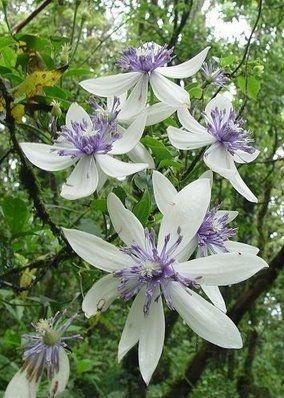 Clematis akoensis - Waldreben – Wikipedia