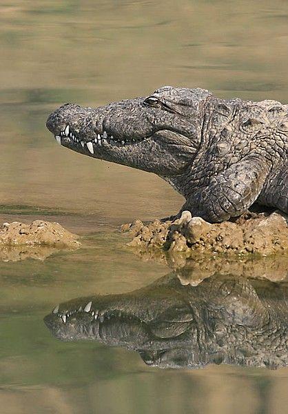 Mugger Crocodile, India