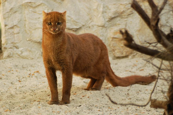 Jaguarundi - The jaguarundi or eyra cat (Puma yagouaroundi), is a small, wild cat native to Central and South America.