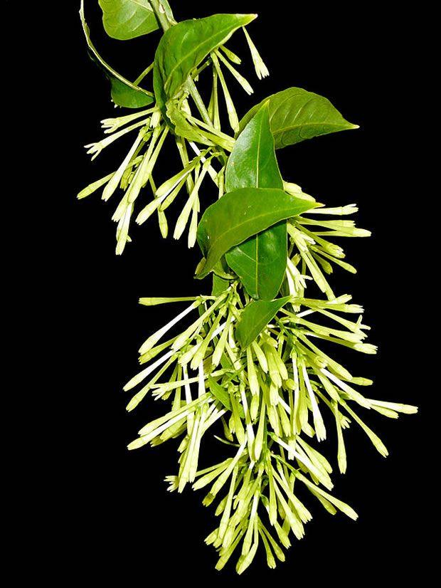 La dama de noche (Cestrum nocturnum) es un arbusto propio del clima mediterráneo que se caracteriza por el intenso olor de sus flores, que se abren en las noches de verano. Durante el día las flore…