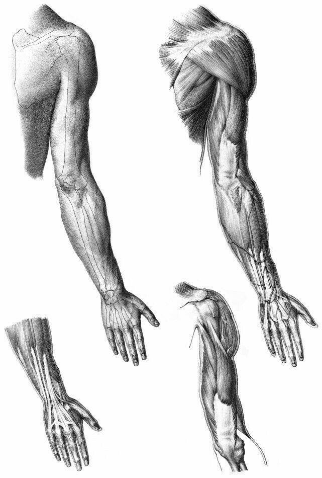 строение мышц руки картинка феломены помойкой решил