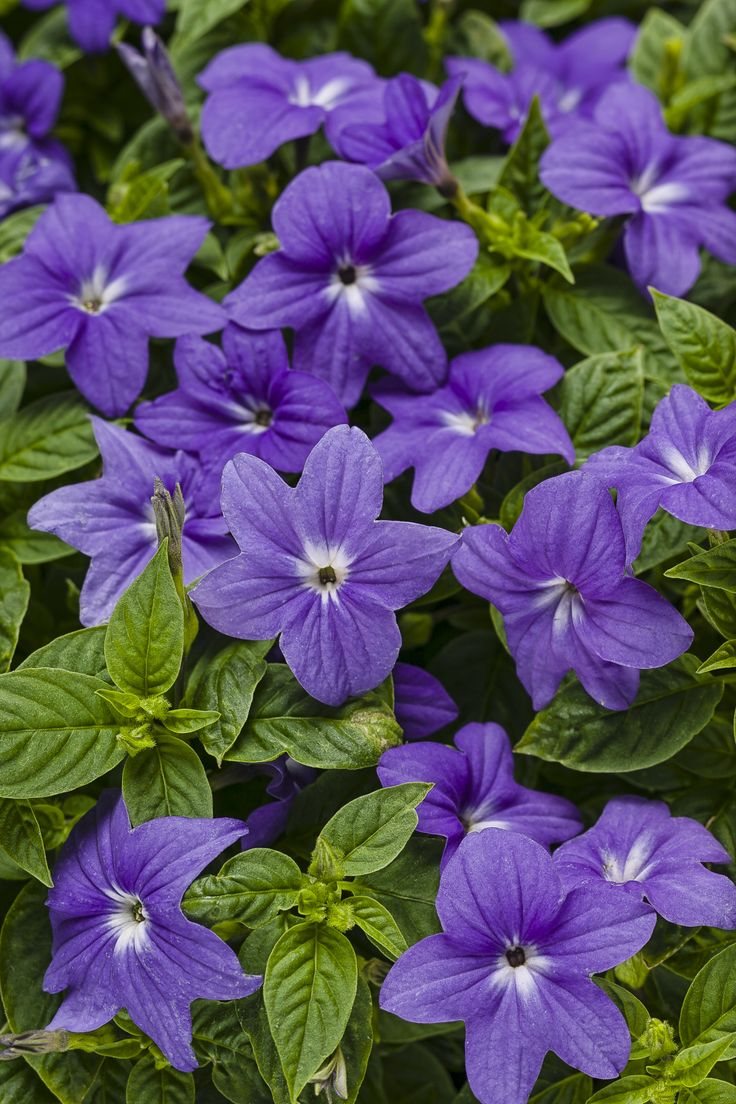 Flowers that bloom in shade - Endless Illumination Browallia Hybrid A Must Have For Your Part Shade To Shade Gardens