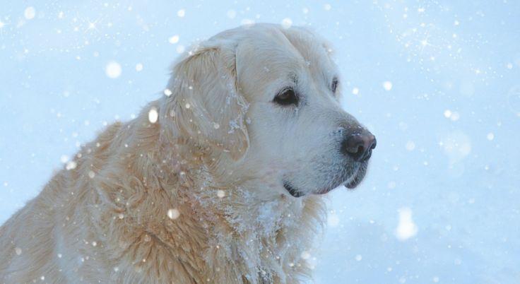 Salir a pasear con tu perro por la nieve es una de las mejores experiencias del invierno, aunque entraña ciertos riesgos. Es importante tomar unas cuantas precauciones antes de poner las patas en l…