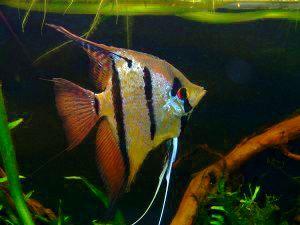 sp. ?Rio Nanay?: Angelfish (Peruvian wild spotted angels)Angelfish ...