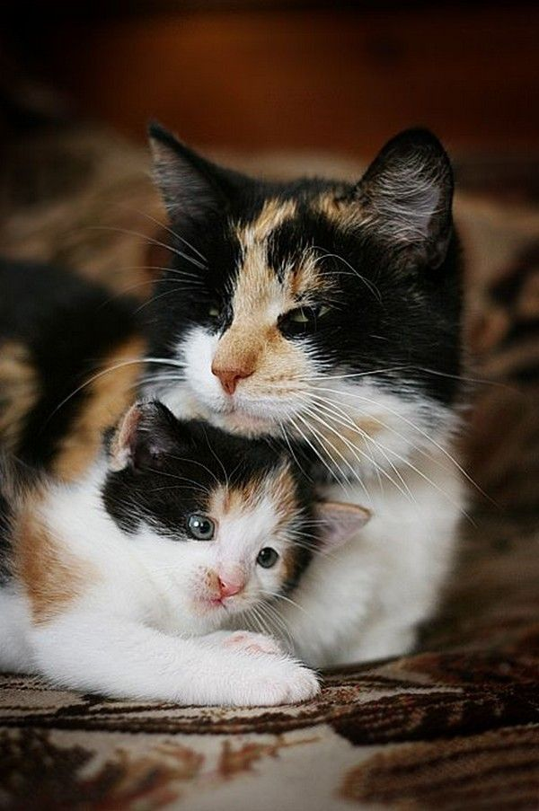 Best Calico Cats Ideas On Pinterest Fluffy Kittens Adorable - 28 adorable cat mums proud of their tiny kittens