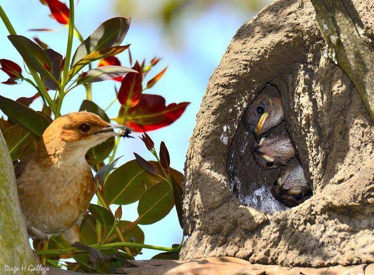 familia de pájaro hornero