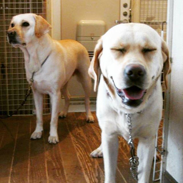 . この顔、なんかムカツク(笑)  #愛犬 #ラブラドール #ラブラドールレトリバー #ラブラドールレトリーバー #レトリーバー #イエローラブ #大型犬 #中型犬 #いぬ #犬 #いぬバカ部 #わんこ #親子犬 #Labrador #Retriever #YellowLabrador  #LabradorRetriever #dogstagram #instadog #mydogs